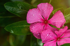 Dew drops on colorful vinca Stock Images