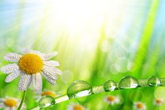 Dew drops on a daisy and green grass. Stock Photos