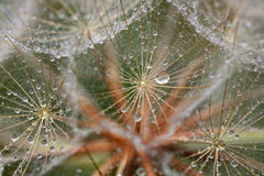 Dew drops on dandelion Stock Image