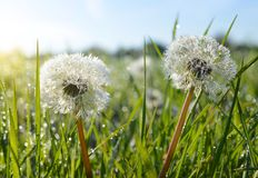 Dew drops on dandelion flowers and green grass. Stock Images