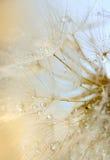 Dew drops on a dandelion Stock Photo
