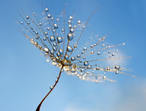 Dew drops on a dandelion seed Royalty Free Stock Image