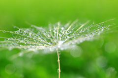 Dew drops on a dandelion seed Stock Photos