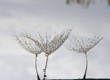 Dew drops on a dandelion seeds isolated against the sky. Seeds of dandelion flower with water drops isolated against the sky - unique art photography stock image