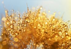 Dew drops on a dandelion seeds. Stock Images