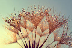 Dew drops on a dandelion seeds at sunrise Royalty Free Stock Images