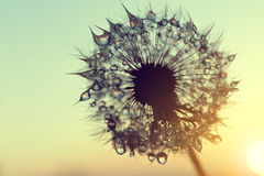 Dew drops on a dandelion seeds at sunrise. Royalty Free Stock Images
