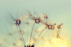 Dew drops on a dandelion seeds at sunrise Royalty Free Stock Photos