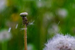 Dew drops on a dandelion seeds at sunrise close up. stock photos