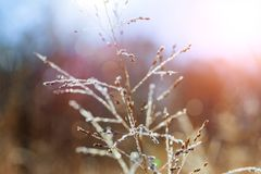 Dew drops on dry grass in autumn. Royalty Free Stock Image