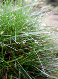 Dew drops on fescue grass Royalty Free Stock Photo