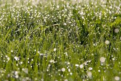 Dew drops in field Royalty Free Stock Images