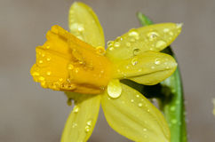 Dew drops on flower buds. Of daffodils Royalty Free Stock Images