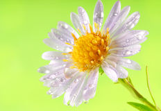 Dew drops on flower petals Stock Photography