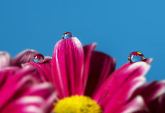 Dew drops on flower petals Royalty Free Stock Image