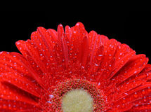 Dew drops on a flower red gerbera Royalty Free Stock Image