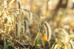 Dew drops on fluffy spikelets of grass glisten in the sun. Dew drops on fluffy autumn spikelets of grass glisten in the sun royalty free stock images