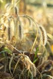 Dew drops on fluffy spikelets of grass glisten in the sun. Dew drops on fluffy autumn spikelets of grass glisten in the sun stock images