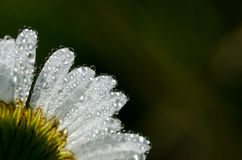 Dew Drops Forming on Flower Royalty Free Stock Image