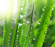 Dew drops Stock Images