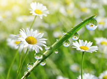 Dew drops on fresh green grass with daisies closeup. Royalty Free Stock Photo