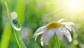 Dew drops on fresh green grass and daisy closeup. Nature Background Royalty Free Stock Photo