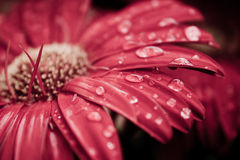 Dew drops on gerbera daisy Stock Images
