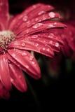 Dew drops on gerbera daisy Royalty Free Stock Photo