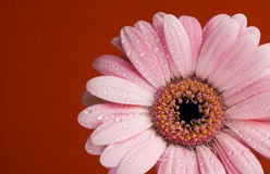 Dew drops on gerbera daisy Royalty Free Stock Images