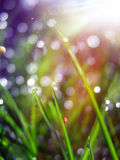 Dew drops on the grass Royalty Free Stock Images