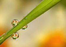 Dew drops on grass. Macro dew drops reflecting daisy flowers on blade of grass Stock Images
