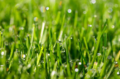 Dew drops on grass. Dew drops on green grass on lawn Royalty Free Stock Images