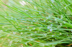 Dew drops on grass Royalty Free Stock Photos