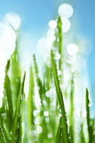 Dew drops on grass. Dew drops on green grass Stock Image