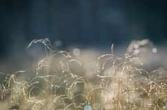 DEW DROPS ON THE GRASS. Autumn morning on the forest glade Royalty Free Stock Images