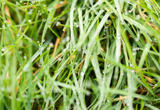 Dew Drops on Grass. B background shallow depth of field Stock Photos