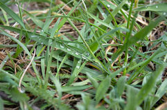 Dew drops on the grass. Drops of clear and clear dew on the green spring grass Royalty Free Stock Image