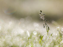 Dew Drops on Grass with cobweb in the Early Morning With Beautif Royalty Free Stock Photos