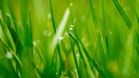 Dew Drops on Grass. E background shallow depth of field Royalty Free Stock Photos