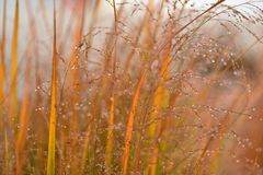Dew drops on grass early morning fall foliage. This picture was taken early on a fall morning in my garden. This wild grass had dew drops hanging on it`s royalty free stock images