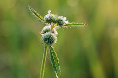 Dew drops on  grass  flower. Close up Royalty Free Stock Image