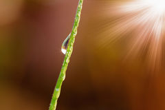 Dew drops on  Grass  leaves  brown background Stock Photography