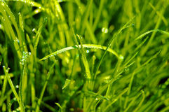 Dew drops on the grass. Natural green photo Stock Image