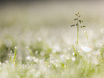 Dew Drops on Grass Plant in the Early Morning With Beautiful Len Royalty Free Stock Image