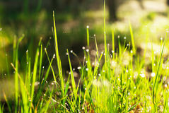 Dew drops on the grass shine in the sun Royalty Free Stock Images