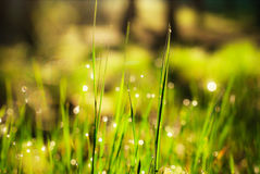 Dew drops on the grass shine in the sun Royalty Free Stock Photography