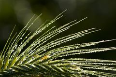 Dew drops on grass spikelet Royalty Free Stock Photo