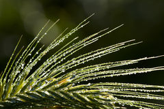 Dew drops on grass spikelet Royalty Free Stock Photos