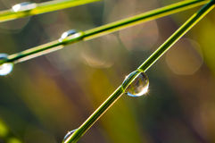 Dew drops on grass stems. Bright,shining dew drops on grass stems in the sunlight.Morning.Summer Royalty Free Stock Image
