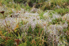 Dew drops on grass. Royalty Free Stock Photos